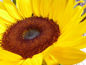 center of a yellow sunflower